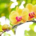 結婚祝いにふさわしい胡蝶蘭の花言葉