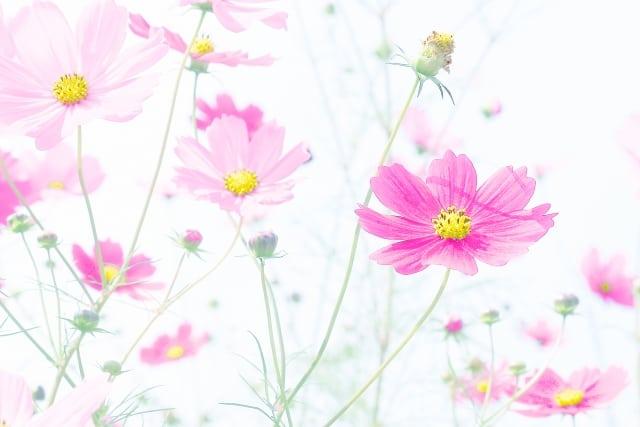 元気が出るコスモスの花言葉